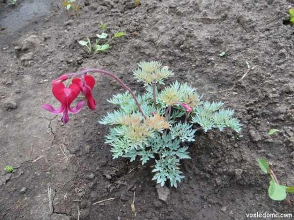 Дицентра - цветок сердца