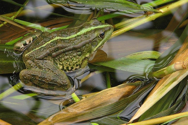 Как найти лягушку (с иллюстрациями) - wikihow