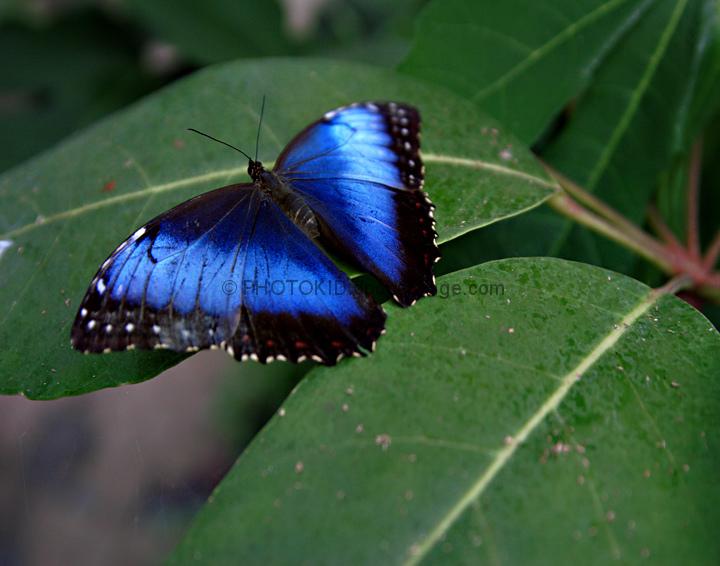 Голубая морфа - кусочек неба