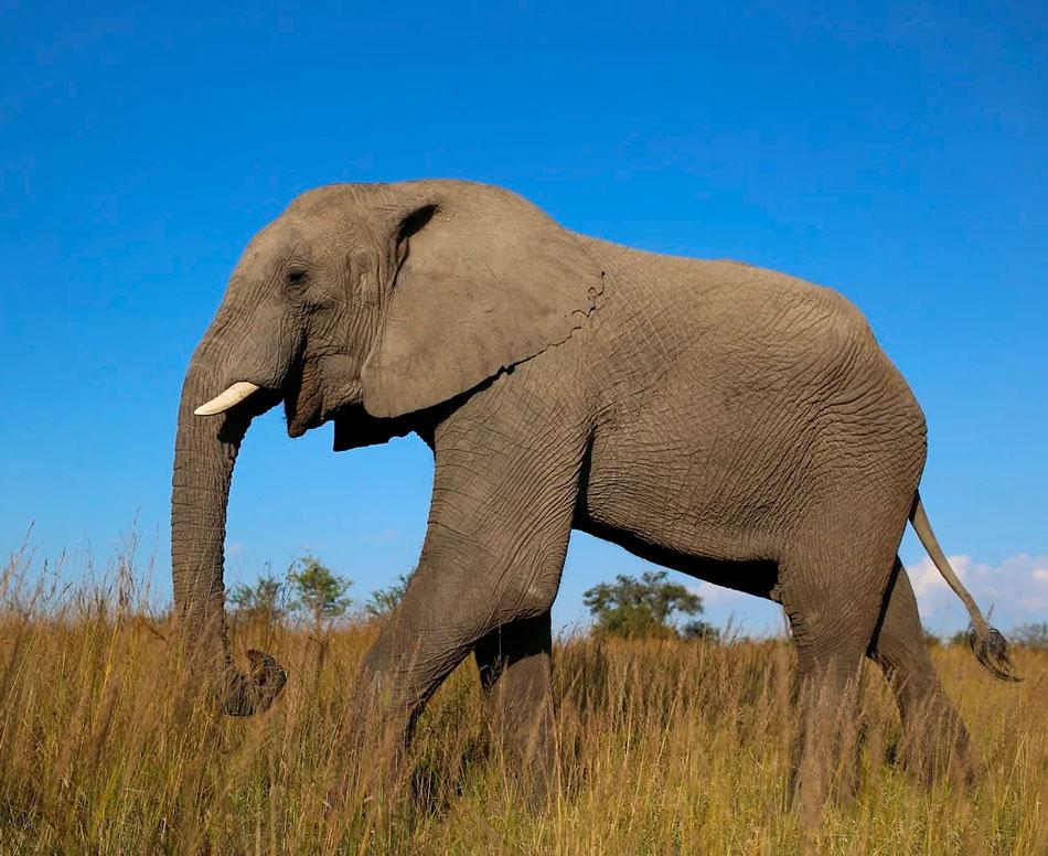 Слоны - виды и фото с названиями, описание животного, чем питаются, где обитают, как выглядит, размножение