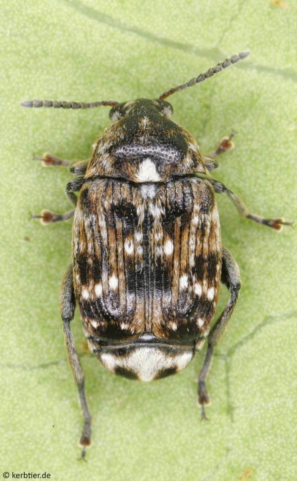 Биология и происхождение жука чернотелки
