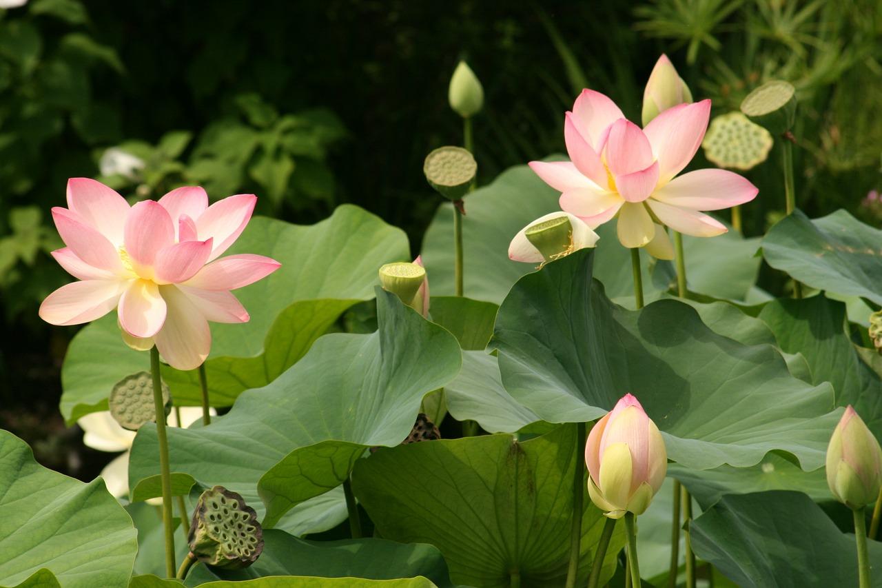 Что символизирует цветок лотоса? хрустальный лотос — самый сильный талисман фэн-шуй.
