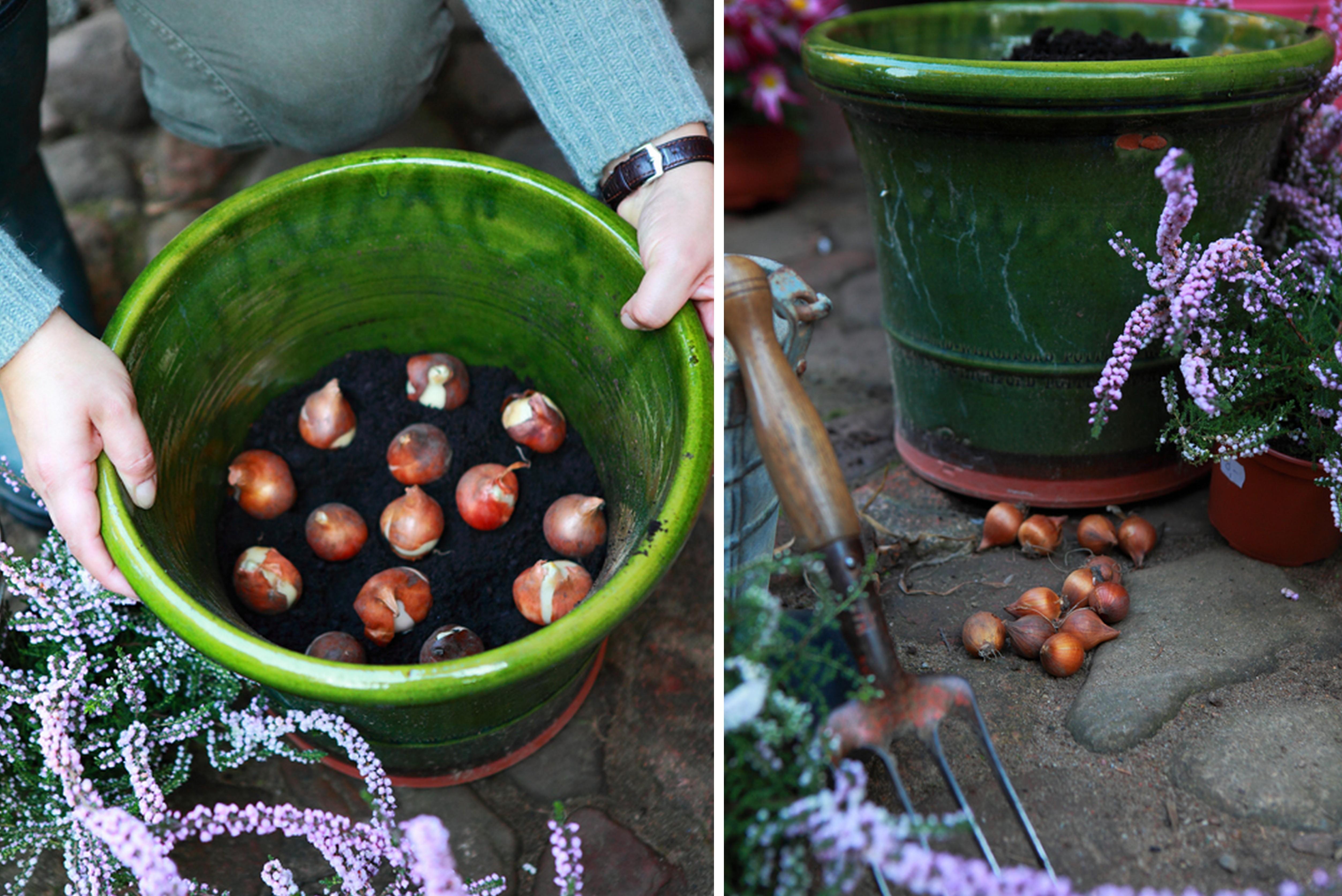 Как сажать тюльпаны в корзины для луковичных