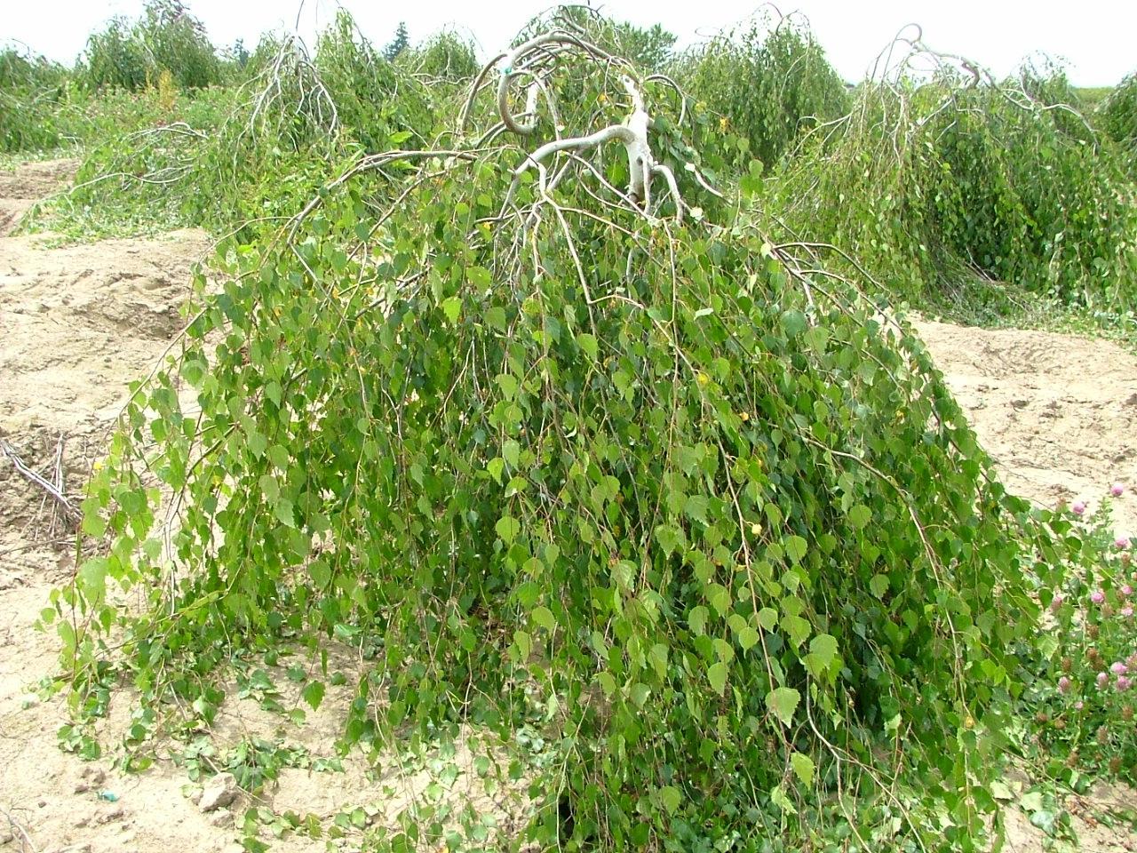 Береза - русское дерево: описание дерева, виды и сорта, применение, посадка