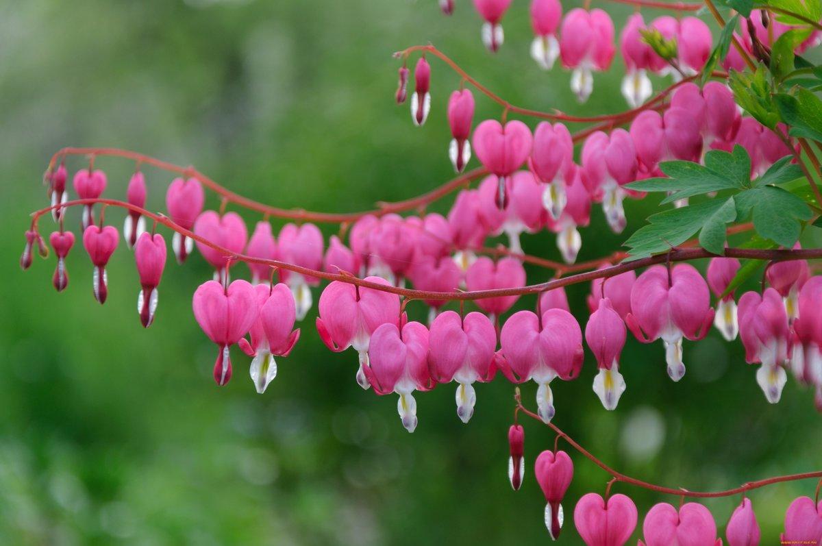 Дицентра великолепная (цветок разбитое сердце): посадка и уход в открытом грунте