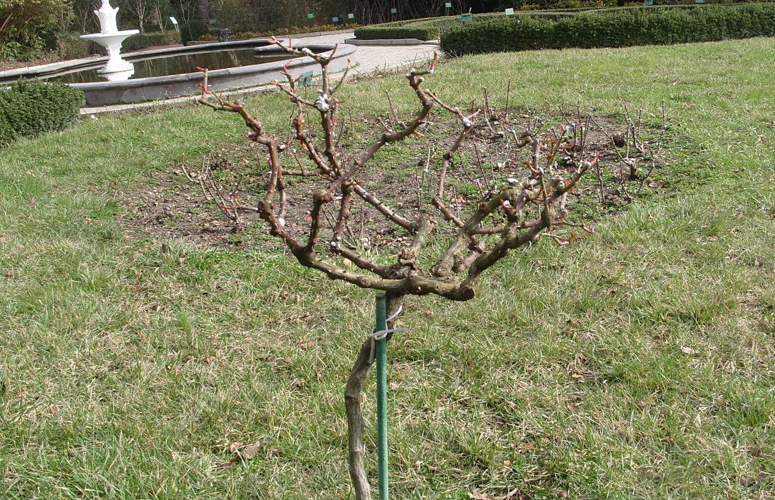 Дерево-роза — особенности выращивания штамбового цветка