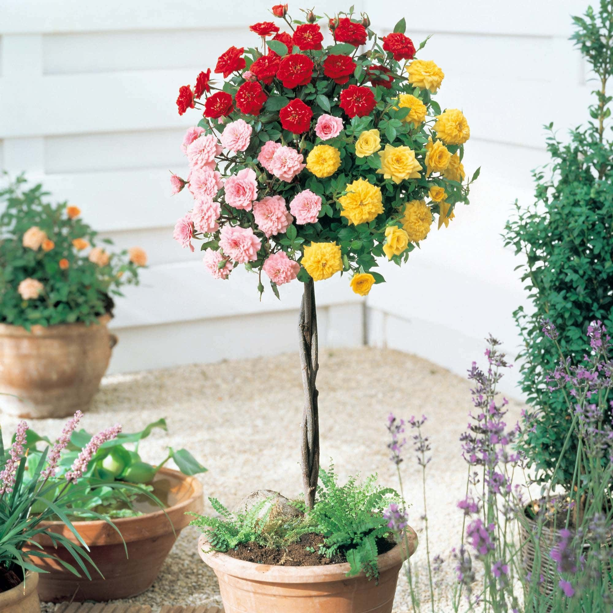 Штамбовая роза: посадка, размножение, уход и прививка