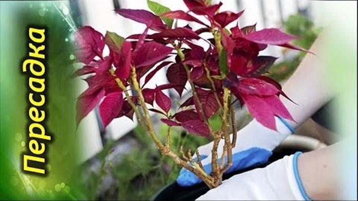 Цветущая пуансеттия: как цветет и как заставить цвести