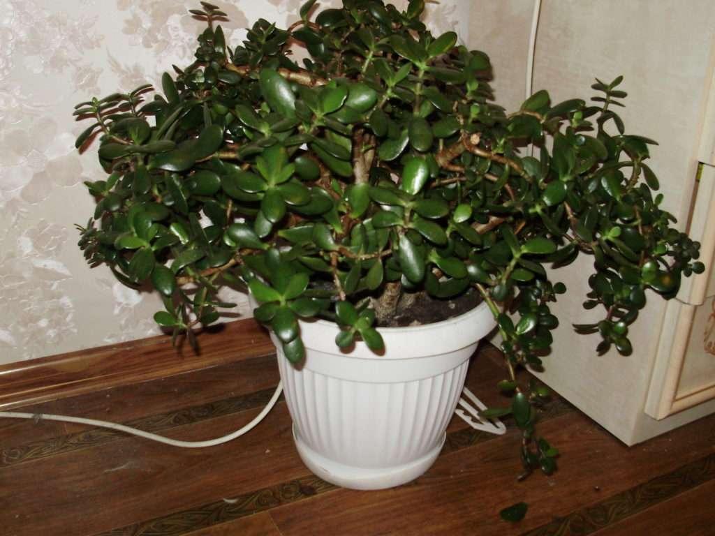 Как правильно называется денежное дерево: толстянка или крассула овата