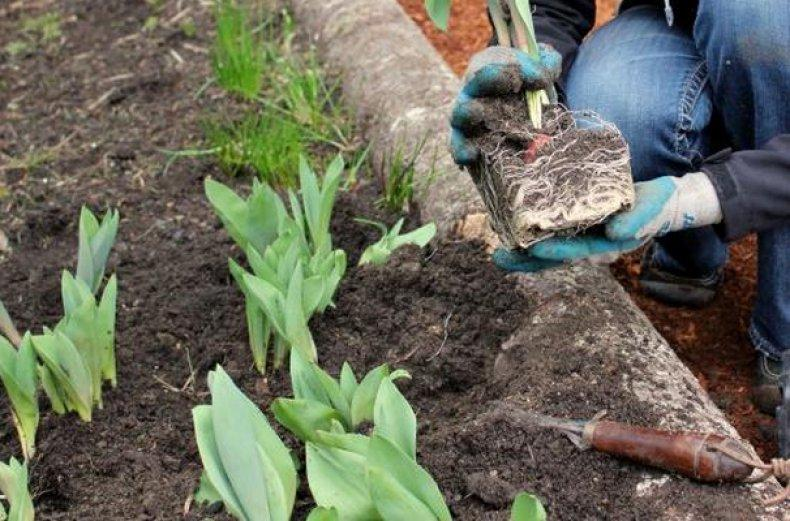 Цветы лилии садовые – посадка и уход, размножение, фото