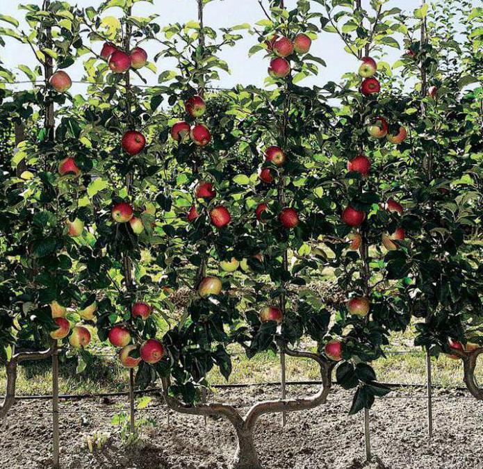 Карликовые яблони – выбираем лучший сорт | в саду (огород.ru)