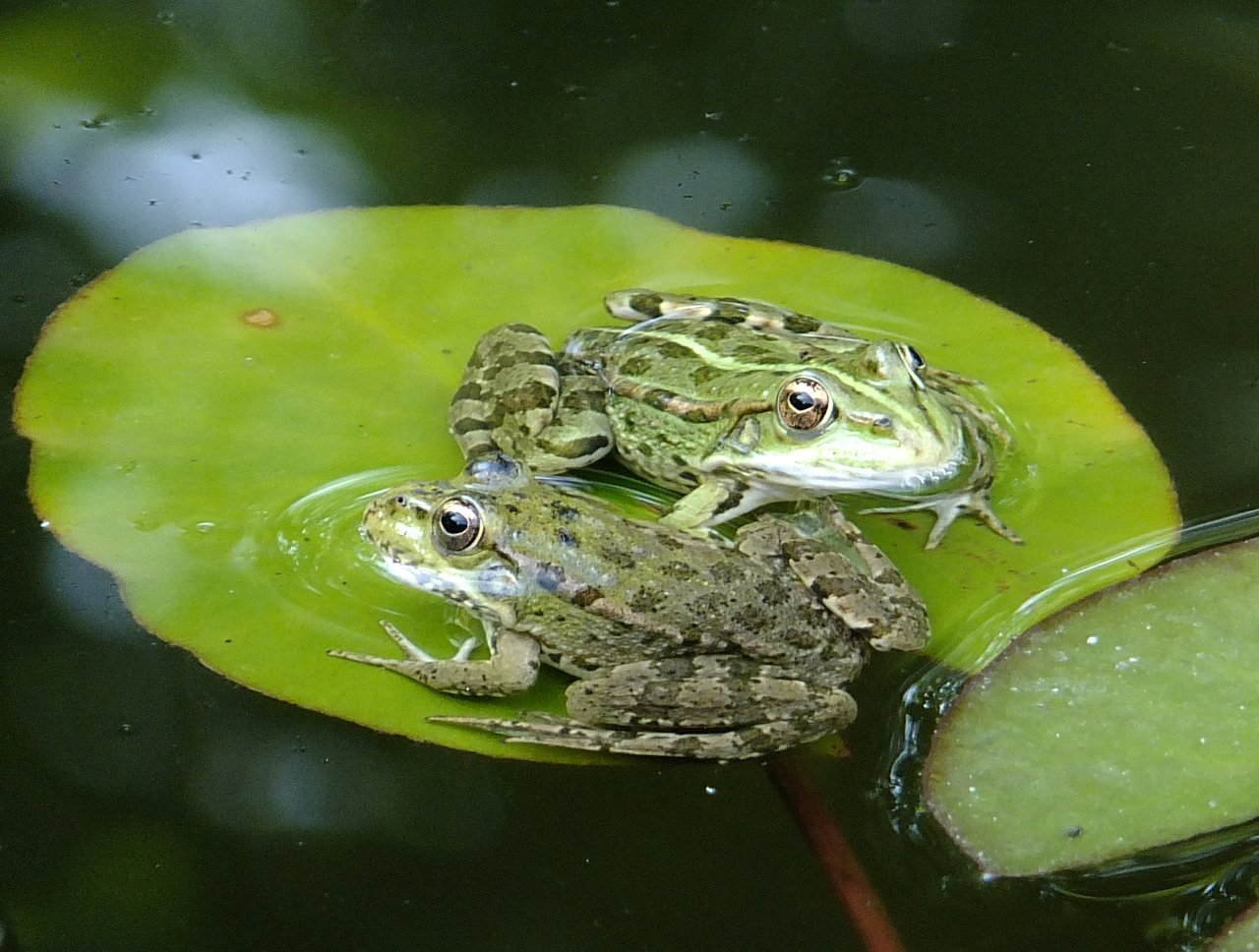 Лягушка озерная, остромордая и травяная