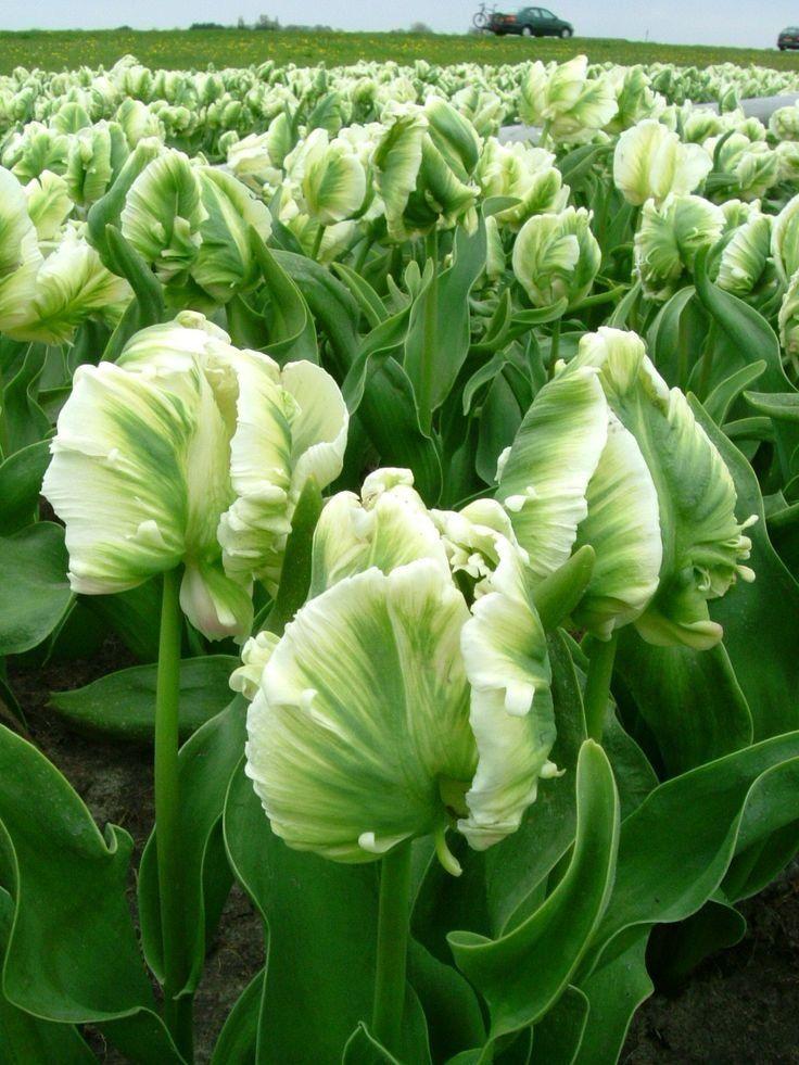 Классификация тюльпанов и крупнейшие сорта
