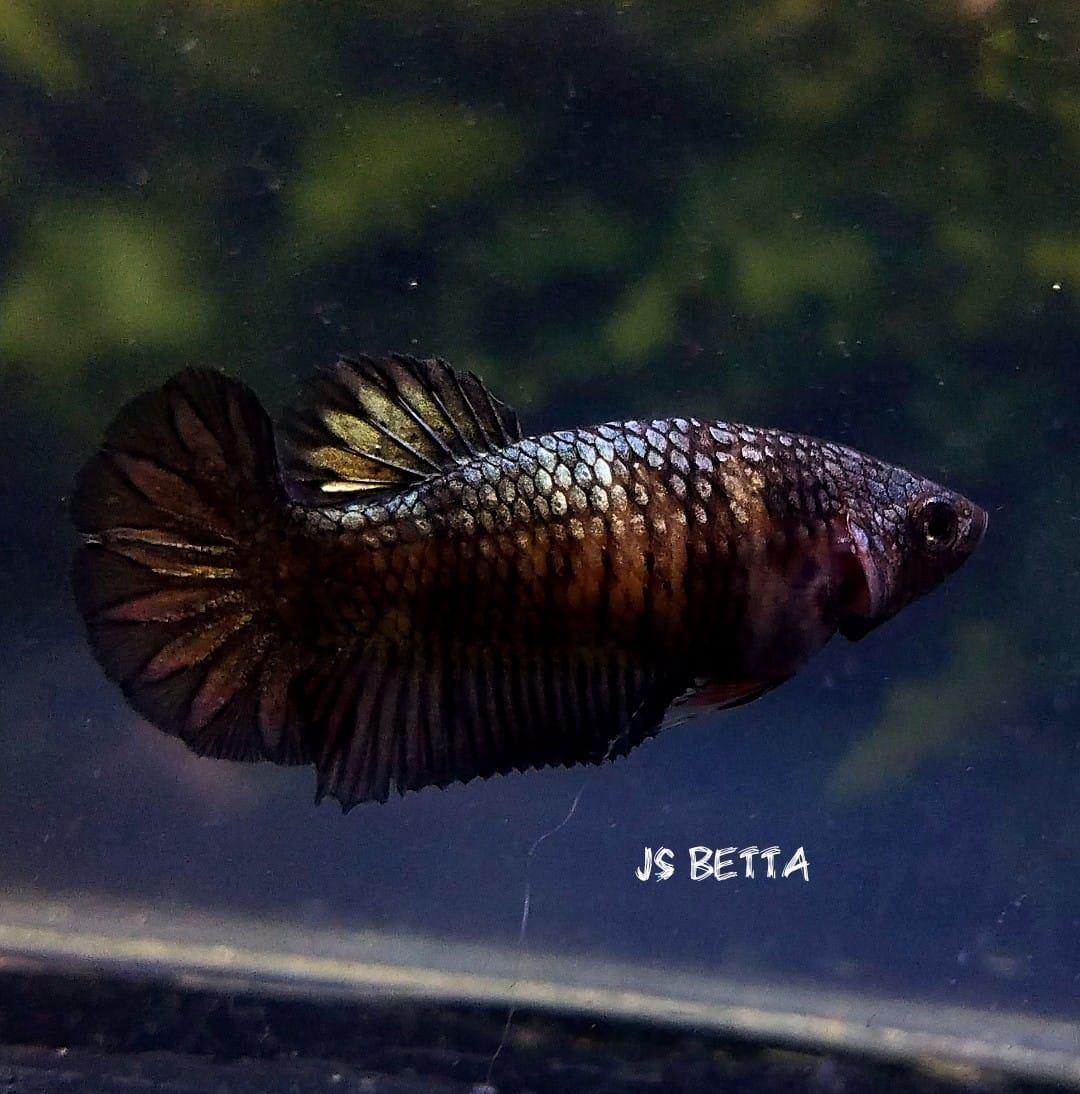 Рыбка петушок: виды, фото, содержание и уход