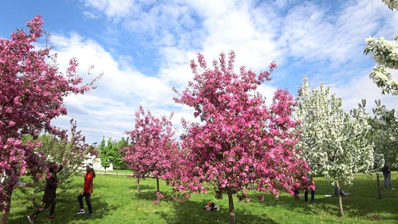 Дерево декоративная яблоня: описание видов и сортов, уход и обрезка декоративной яблони