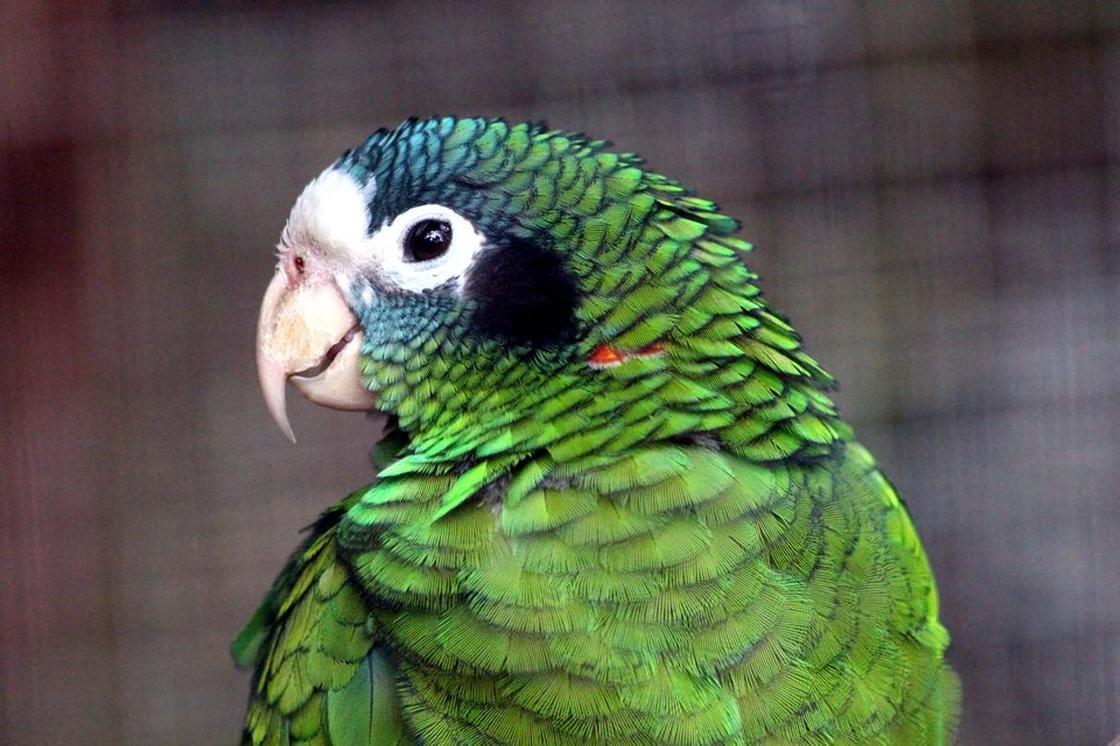 Волнистый попугайчик - все о самой популярной породе попугаев