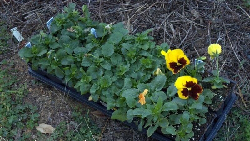 анютины глазки - фото, посадка и уход, выращивание из семян, описание растения