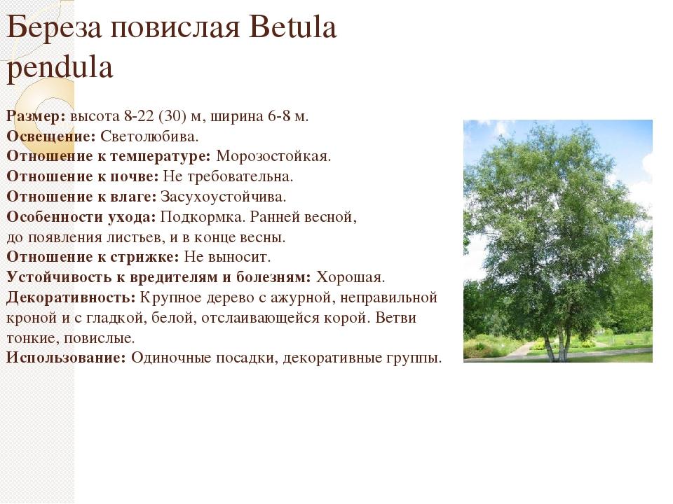 ᐉ берёза повислая описание и особенности - roza-zanoza.ru