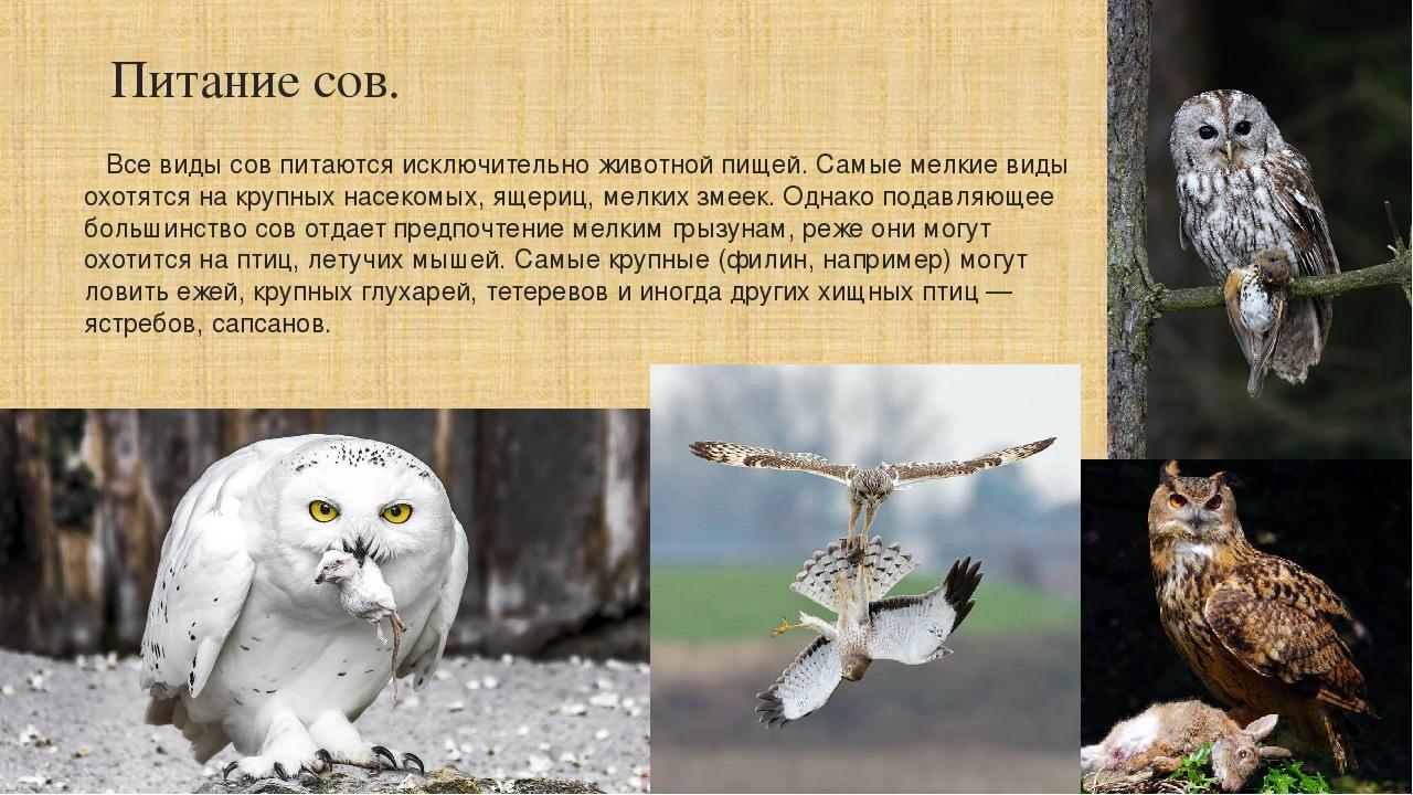 Птица сова: всё самое интересное | наши птички