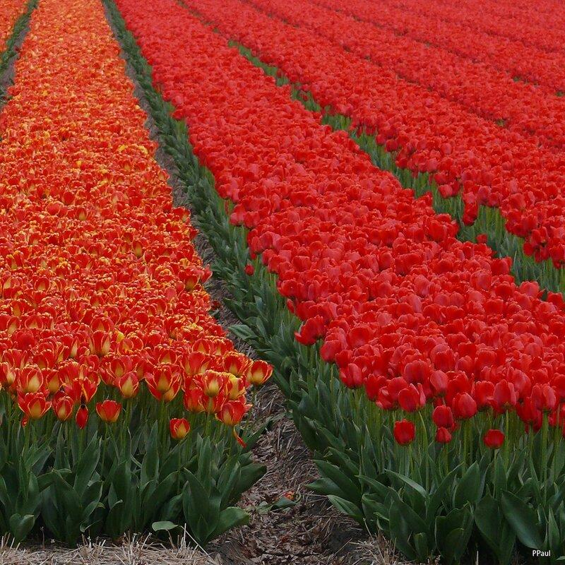 Тюльпаны отцвели. что делать дальше, что посадить после тюльпанов