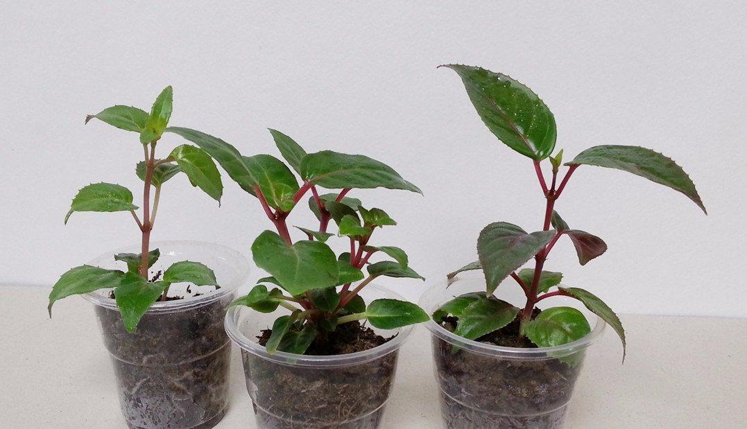 Фуксия выращивание и уход в домашних условиях размножение