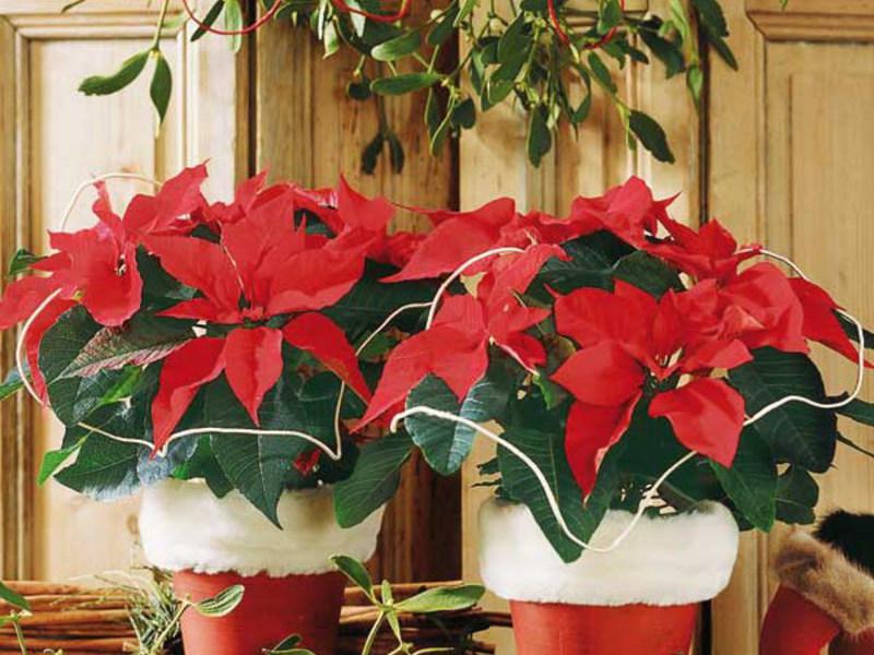 Пуансеттия: уход в домашних условиях, цветок рождественская звезда