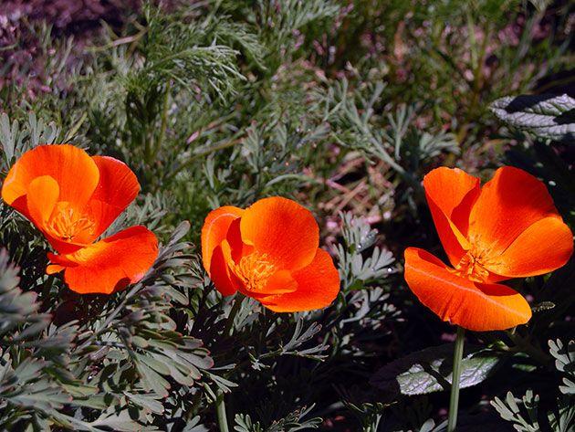 Растение гиломекон / лесной мак: фото, сорта, выращивание, посадка и уход
