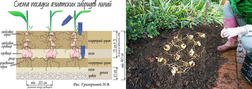 Тигровая лилия: сорта, фото- особенности выращивания и размножения: обзор +видео