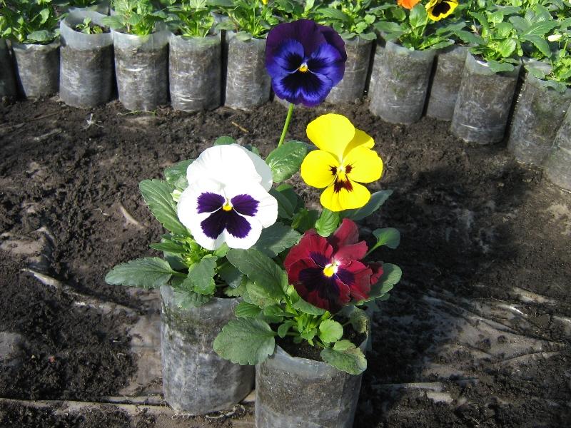 Анютины глазки - 72 фото особого цветка воспетого поэтами