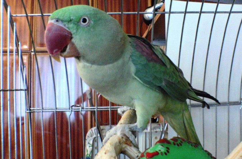 Попугай - виды, описание, особенности, питание и уход за домашними птицами (видео + 100 фото)