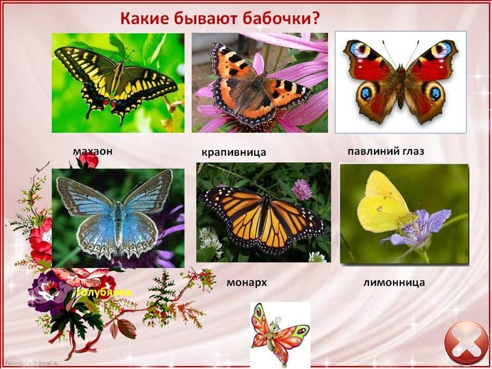 Бабочка бражник ? фото, описание, ареал, питание, враги ✔