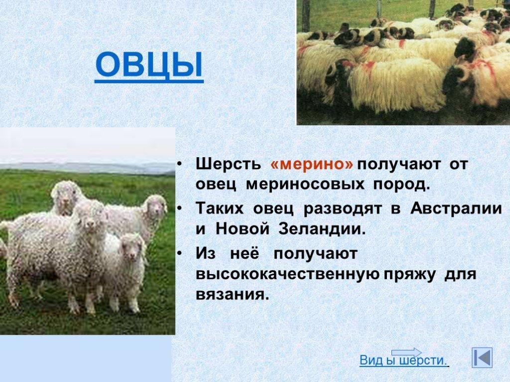 Что даёт овца: продукция овцы и направления овцеводства