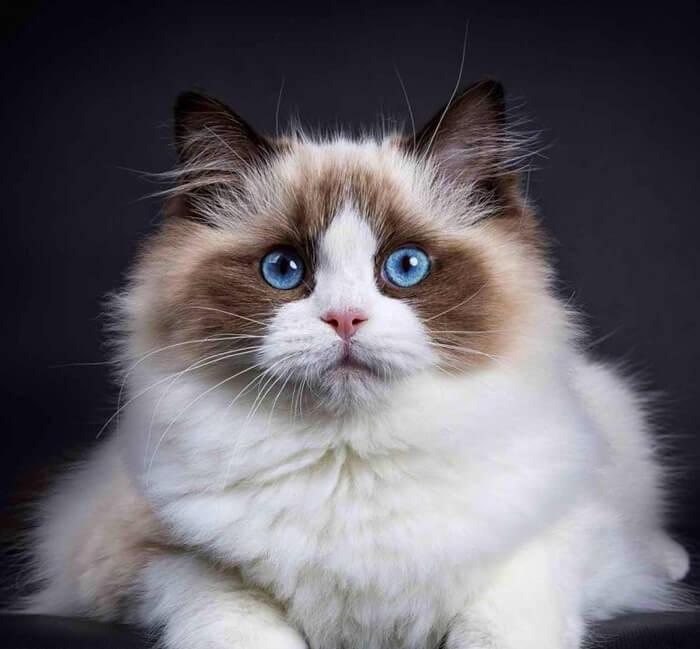 20 самых красивых пород кошек в мире
