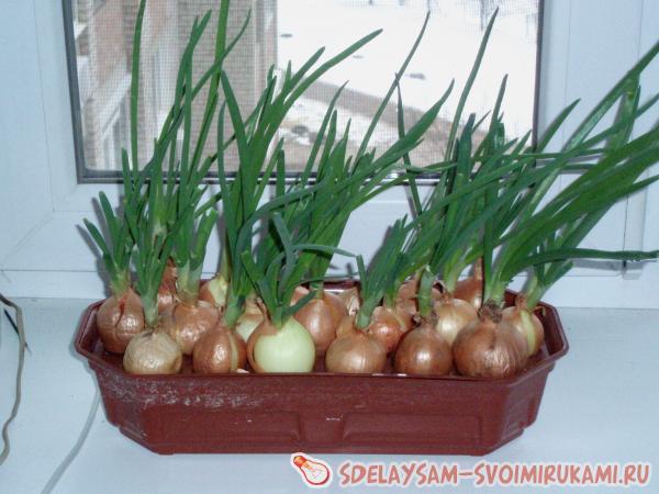 Выращиваем зеленый лук в домашних условиях: полезные советы