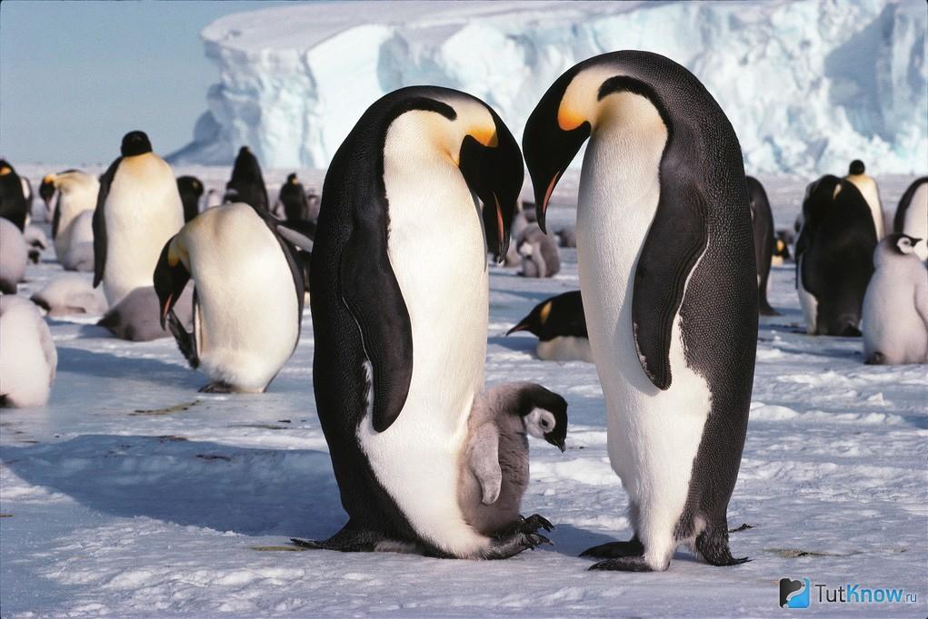 Пингвины: описание, виды, сколько живут, что едят